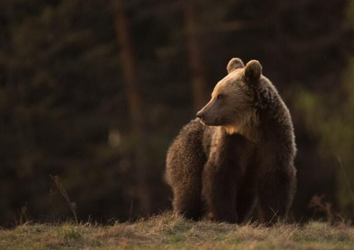Autoritățile sucevene sunt în alertă din cauza prezenței urșilor în zona localităților Marginea, Sucevița, Horodnic de Sus și Vicovu de Jos